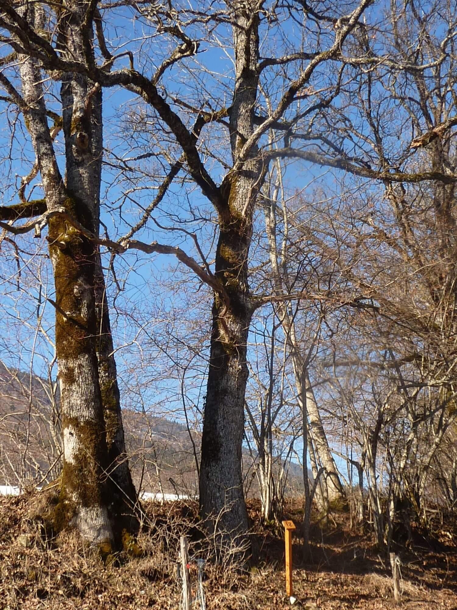 hiver : chêne