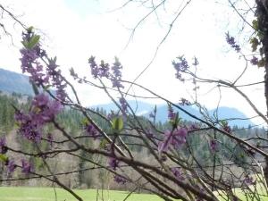 bois joli en fleurs